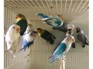 Muchos Lovebirds , Isabela Pet Shop