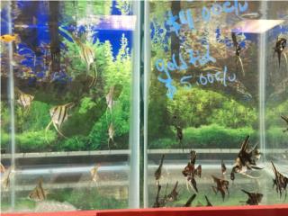 Muchos pez ángel  Puerto Rico