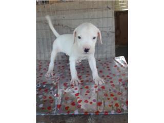 Puerto Rico Dogo Argentino Calidad, Perros Gatos y Caballos