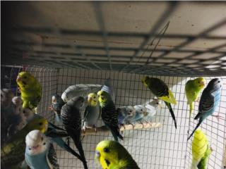 Pericos variedad a escoger , Isabela Pet Shop