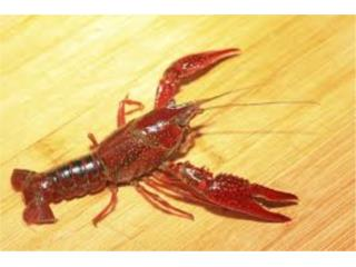 Crayfish, AQUARIUM XTRA
