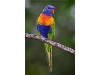 Rainbow Lory - LOROS ARCOIRIS Puerto Rico