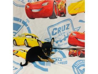 Chihuahua hembra con papeles, Family Pets