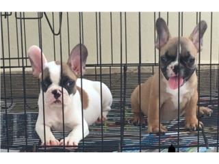 Puerto Rico French Bulldog, Perros Gatos y Caballos