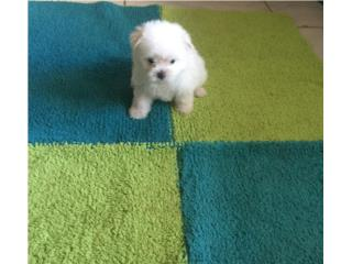 MALTESE MACHITO, Puppy