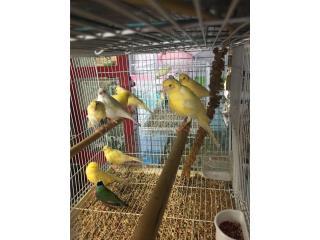 Canarias disponibles, Isabela Pet Shop