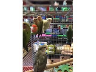 Lovebirds regulares, Isabela Pet Shop