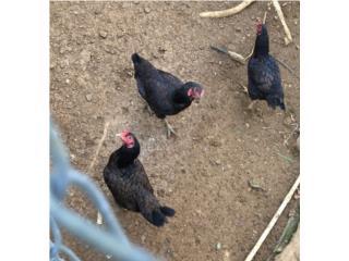 3 Cornish hembras de las grandes , Family Pets