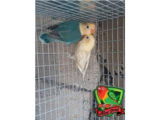 LINDA PAREJA DE ANILLADOS, Animal Sales