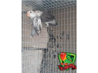 Pareja de love bird anillado, Animal Sales