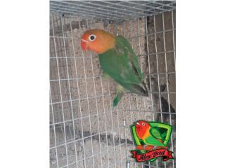 LOVE BIRD ANILLADO MACHO, Animal Sales