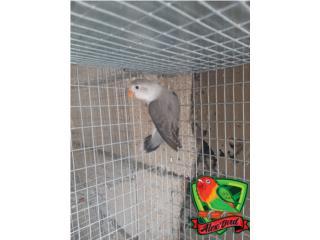 LOVE BIRD ANILLADO MACHO EUWING, Animal Sales