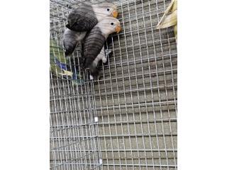 LOVE BIRD ANILLADOS PAREJA, Animal Sales