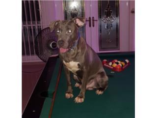 Puerto Rico PITBULL BLUE MACHO $400, Perros Gatos y Caballos