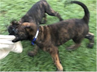 Clasificados Online Mascotas Dutch Sheperd Puppy's $800.00
