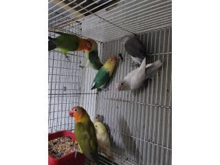 Love bird anillados disponibles, Animal Sales