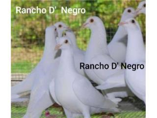 Venta de palomas mensajeras blancas Puerto Rico