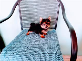 ESPECTACULAR BELLO TOY YORKIE CON PAPELES, Puppy World