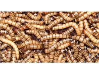 Super worms, Isabela Pet Shop