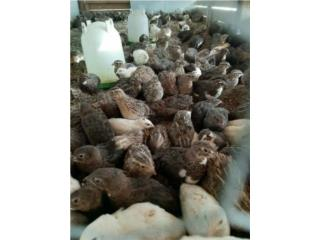 Muchas codornices , Isabela Pet Shop