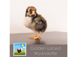 Pollitas Golden Laced Wyandotte, Mascotas Puerto Rico