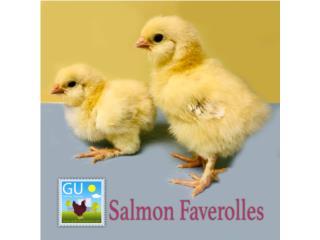 Pollitas Salmon Faverolles venta este domingo Puerto Rico