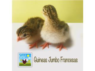 Guineas francesas Jumbo venta este domingo Puerto Rico