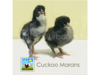 Pollitas Cuckoo Marans a la venta este doming Puerto Rico