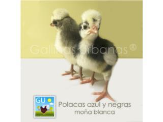 Pollitas Polacas azules venta este domingo Puerto Rico