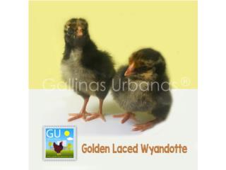 Pollitas Wyandotte:Columbian,Silver, Golden y Puerto Rico
