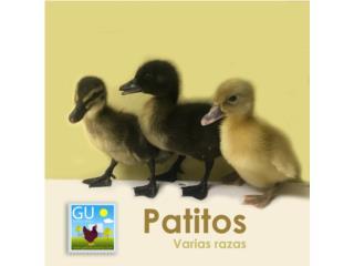 Patitos varais razas disponibles Puerto Rico