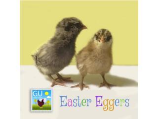 Pollitas Easter Eggers Puerto Rico