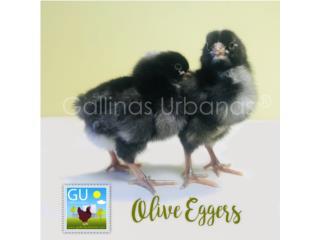 Pollitas Olive Eggers  Puerto Rico