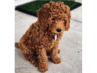 Puerto Rico Mini Goldendoodles color Rojo!!! , Perros Gatos y Caballos