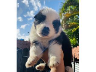 Puerto Rico German Shepherd Panda AKC, Perros Gatos y Caballos