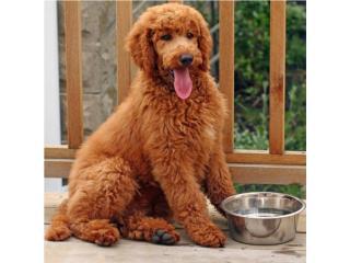 Puerto Rico Puppys Standard Poodle Red, Perros Gatos y Caballos