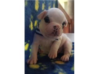 French bulldog  BLANCO NENE con papeles AKC, French Lovers