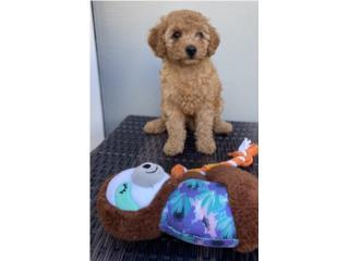 Puerto Rico Toy Poodle con Papeles, Perros Gatos y Caballos