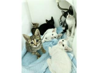 Puerto Rico Regalando gatitos de 8 semanas, Perros Gatos y Caballos