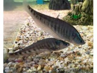 Variedad en peces de agua dulce Puerto Rico