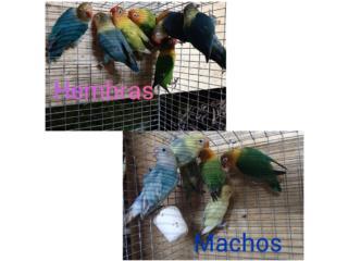Machos y Hembras anillados disponibles, Animal Sales