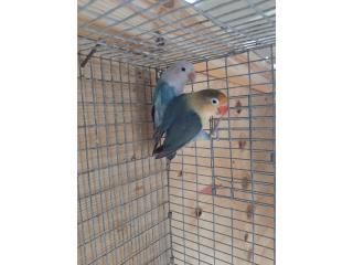 Love bird anillados de calidad , Animal Sales