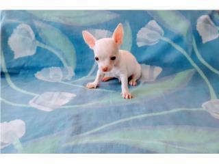 ESPECTACULAR TOY CHIHUAHUA-BLANCO-OJOS AZULES, Puppy World