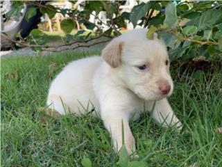 Puerto Rico Labradores  AKC Y MICROCHIP , Perros Gatos y Caballos