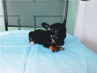 BELLO TOY CHIHUAHUA CON PAPELES-VACUNAS, Puppy World