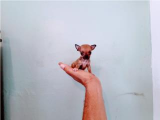 ESPECTACULAR BELLA POCKET CHIHUAHUA HEMBRA, Puppy World