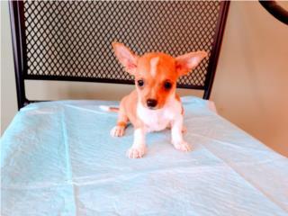 BELLO CHIHUAHUA CON PAPELES-VACUNAS , Puppy World