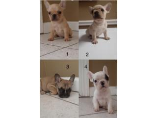 Puerto Rico French bulldog , Perros Gatos y Caballos