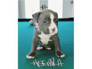 Puerto Rico PITBULL BLUE  HEMBRA, Perros Gatos y Caballos