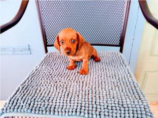 MINI SALCHICHA HEMBRA RED CON PAPELES-VACUNAS, Puppy World